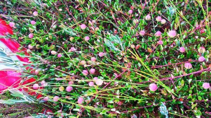 cranberries on the bog